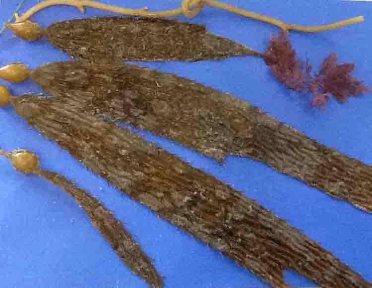 Amelia-kelp copy
